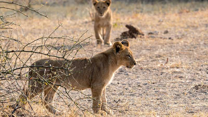chobe-np-lion-cubs-safari-the-common-wanderer
