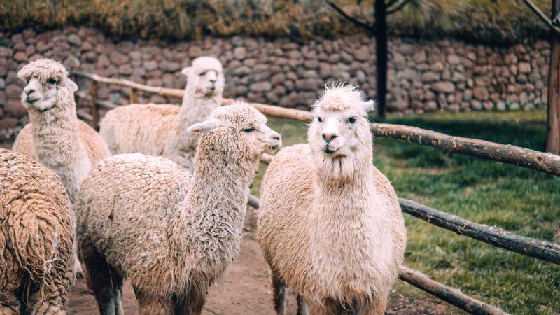 A herd of alpacas in Peru