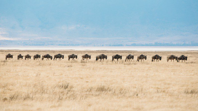 Local migration in Ngorongoro Crater
