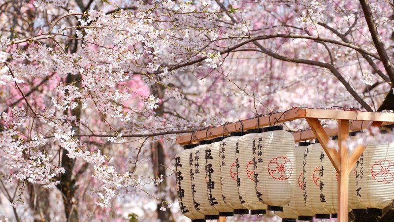 Sakura lanterns cherry blossom Japan