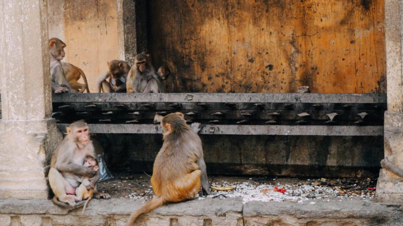 Monkey Temple Jaipur India
