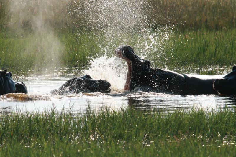 Hippos Moremi Game Reserve Botswana safari