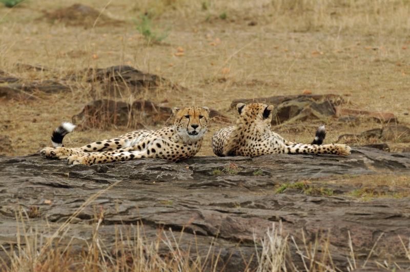 Maasai Mara cheetah Kenya safari