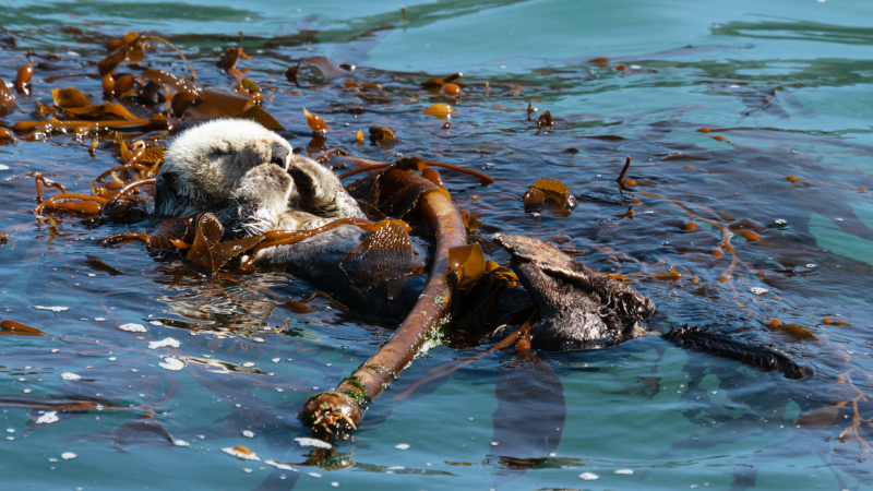 Otter playing in Monterey Bay