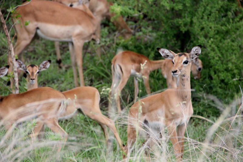 Impalas Kruger National Park South Africa