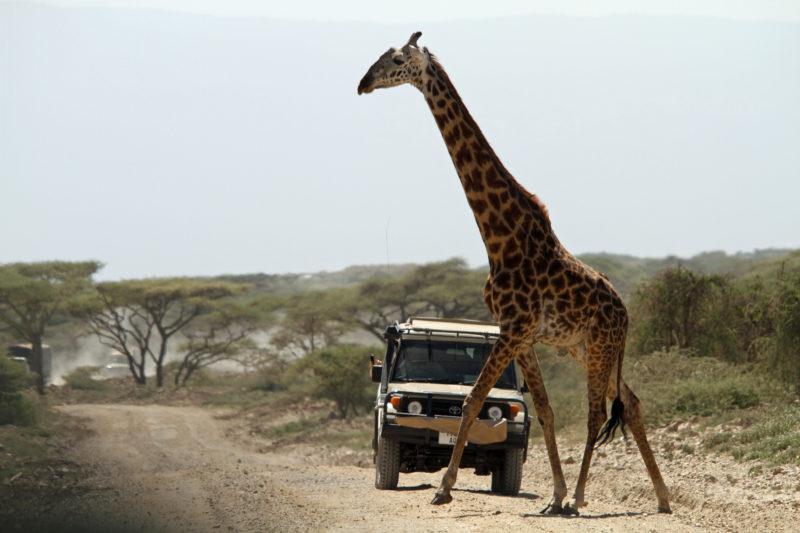 Giraffa Tanzania Serengeti