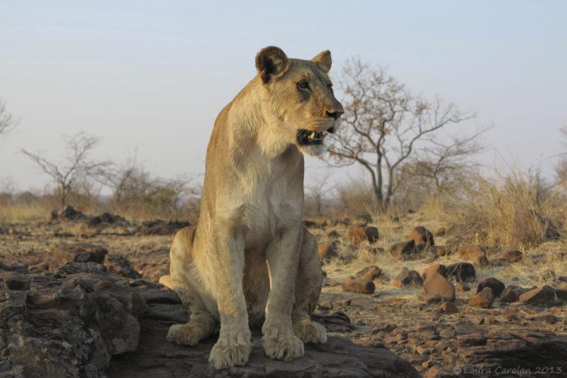 Lioness Zimbabwe safari