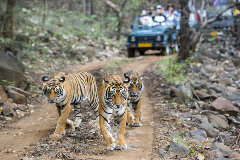 Rathambore National Park Rajasthan India