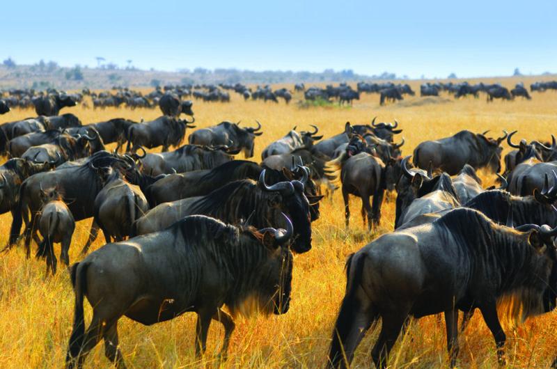 Wildebeest Migration safari Kenya