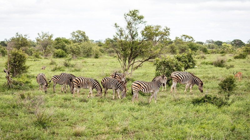 Family of zebra grazing in Kruger National Park