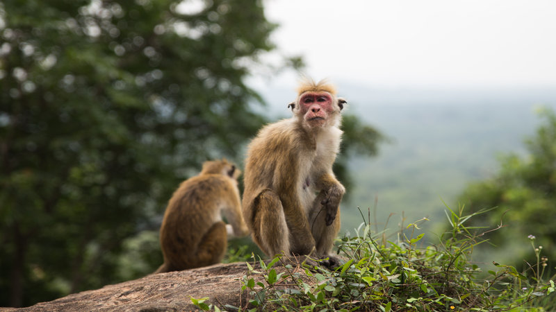 Two monkeys sitting atop a rock.
