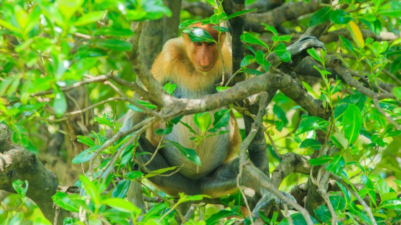 Proboscis monkeys in Sabah