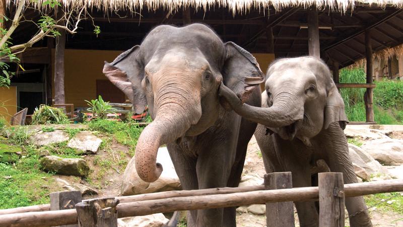 Elephant Chiang Mai Thailand