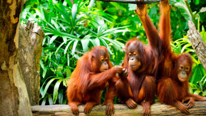 How you can help save the orangutans
