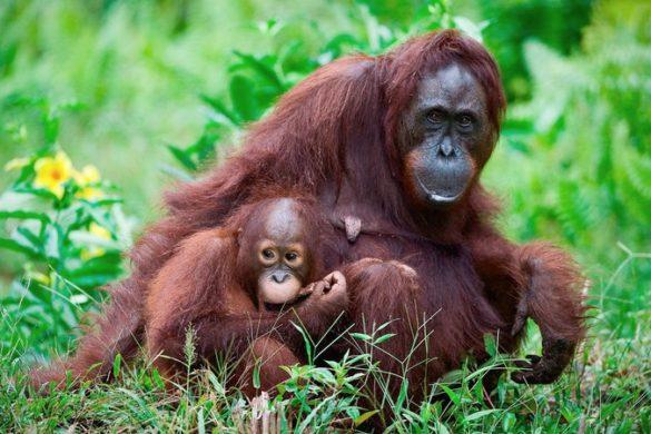 Mother and baby orangutan, Sabah