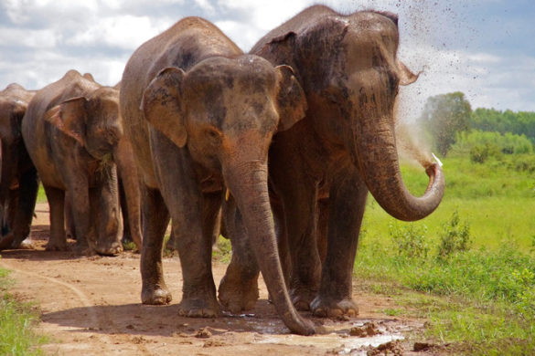 Asian elephants in Surin, Thailand