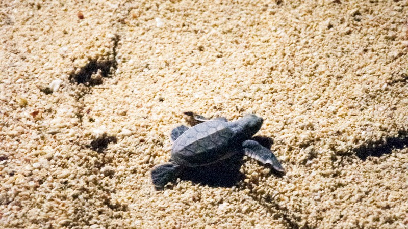 Turtle hatchling on Selingaan Island, Borneo