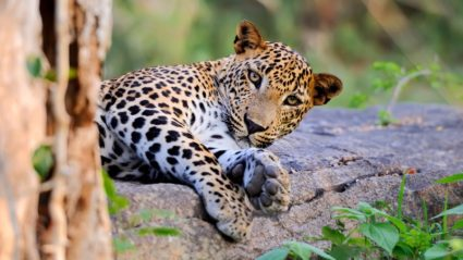 Where to spot leopards in Sri Lanka