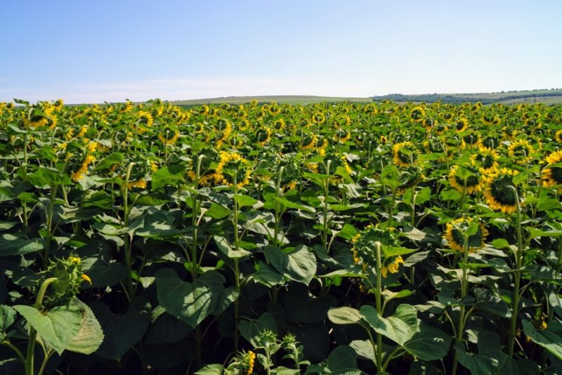 Moldova travel sunflowers