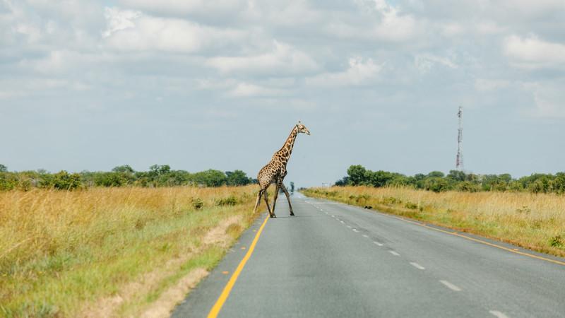 Safari in Botswana tour Nata giraffe