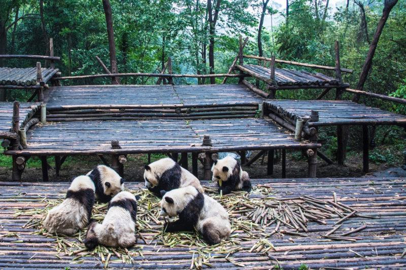 Chengdu China pandas