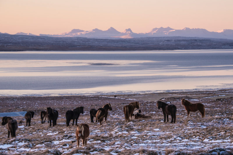 Snaefellsnes-Ponies Iceland winter