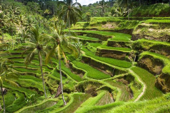 Bali Indonesia rice fields