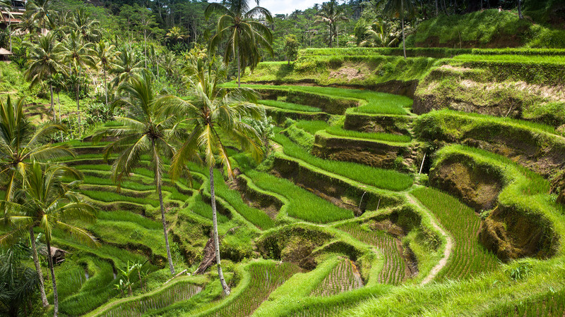 Bali Indonesia rice fields