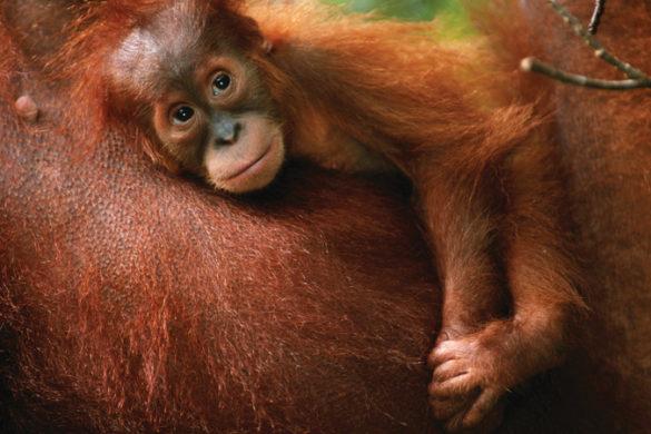Indonesia Sumatra orangutan