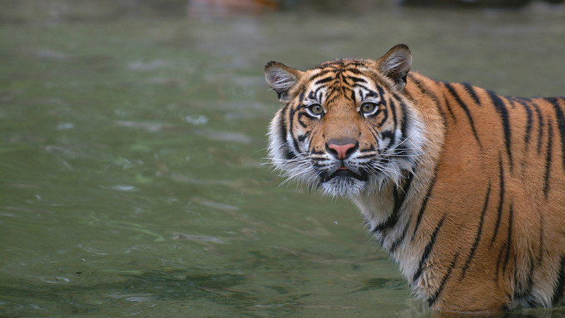 Tiger Sumatra Indonesia