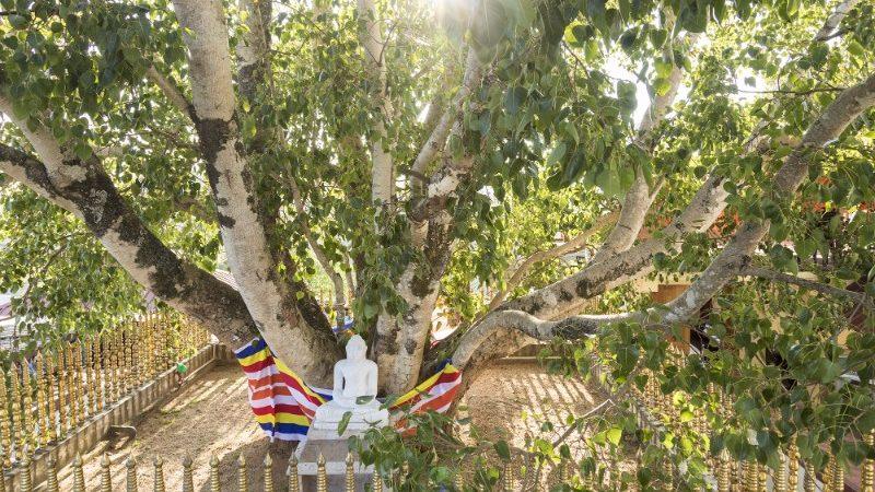The famous Sri Maha Bodhi tree