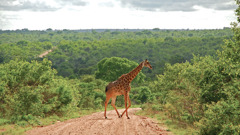 A giraffe crosses the road in Kruger National Park, South Africa