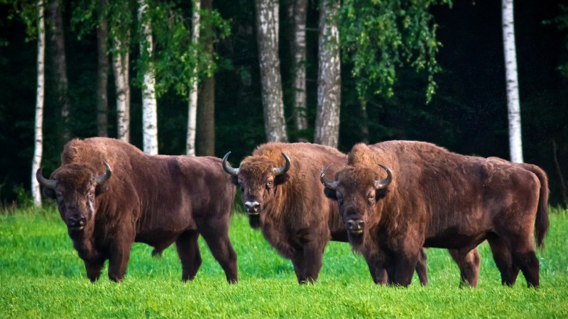 European bison grazing in Belovezhskaya Pushcha National Park.