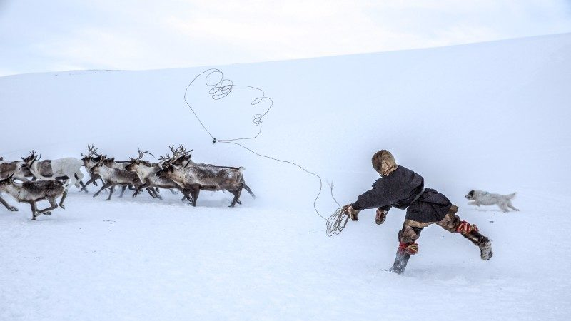 A local herder attempts to lasso a reindeer