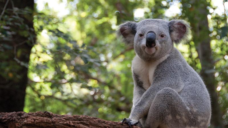 A koala sits in a tree