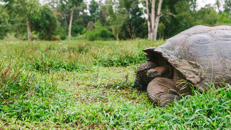 A giant tortoise peers out of its shell
