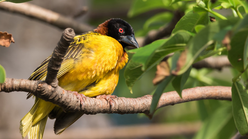 Male Village Weaver in Guinea-Bissau