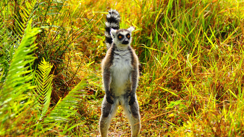 Ringed tailed lemur in Madagascar.