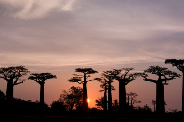 Avenue of the Baobabs at sunset.