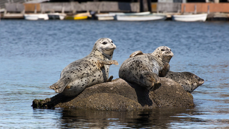 The harbour seals in Monterey Bay