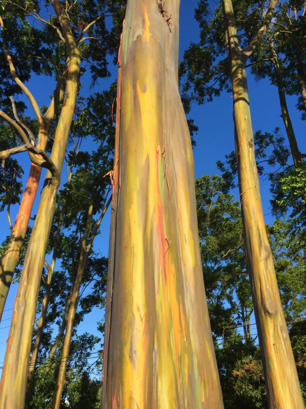 san jose guide eucalyptus