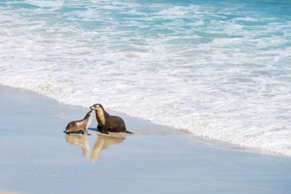 Two seals on the beach on Kangaroo Island