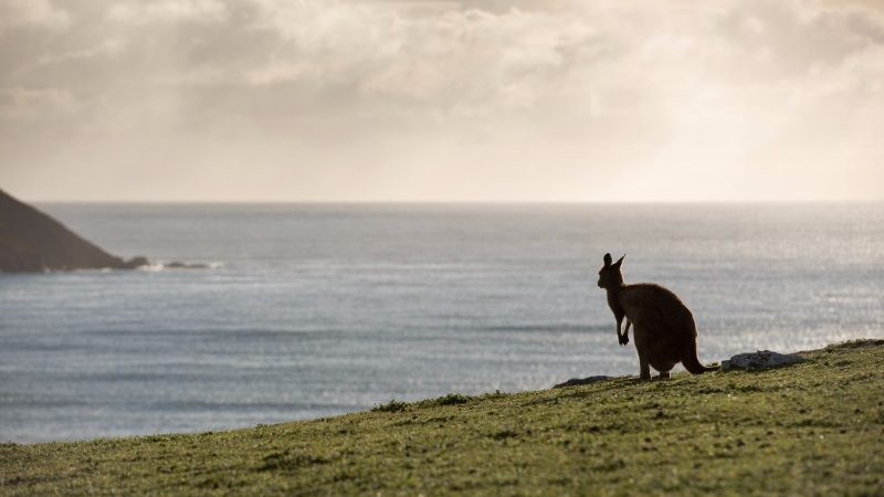 A kangaroo stands in a field at sunset in South Australia