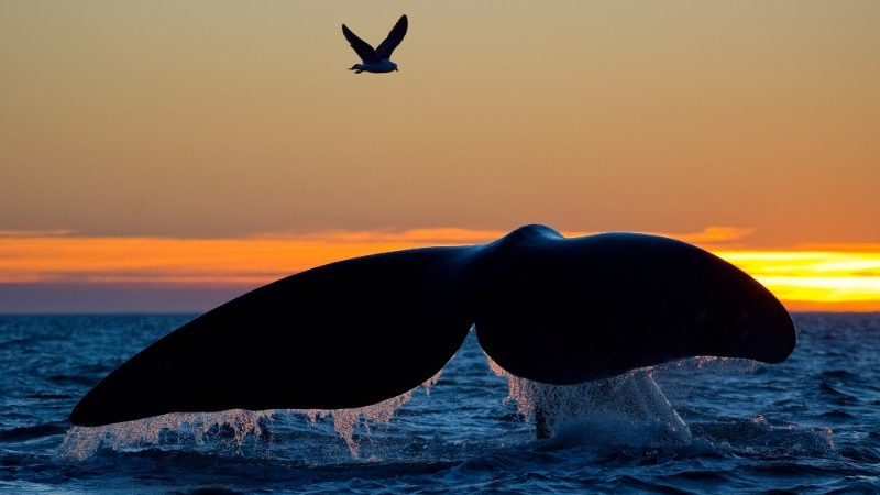 A whale tail descends into the ocean