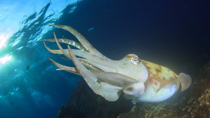 A swimming cuttlefish