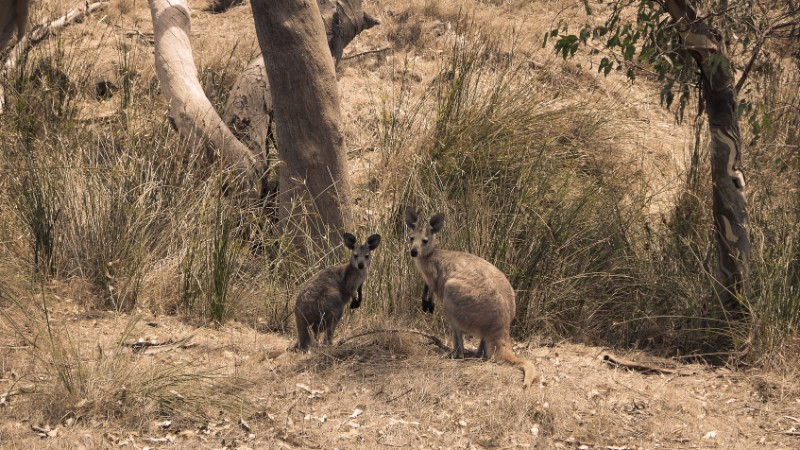 Two wallabies in the Flinders Ranges