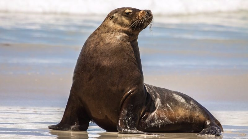 A chubby sea lion on the beach