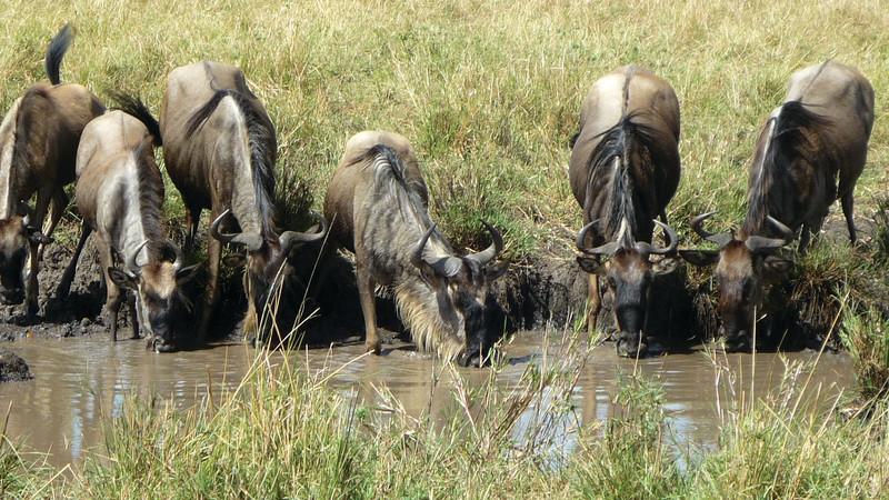 Wildebeest migration guide Kenya