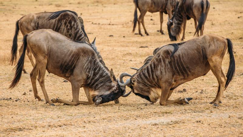 Wildebeest migration guide Tanzania