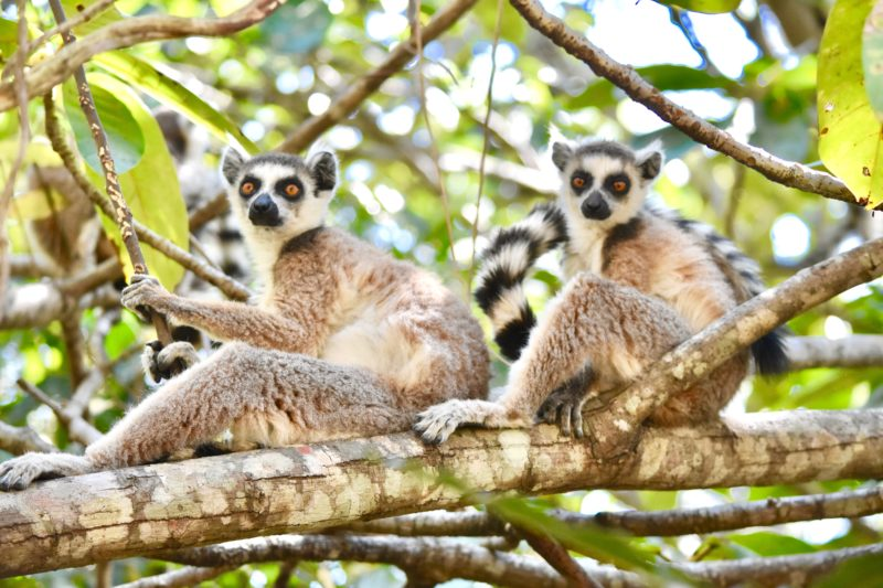 Madagascar travel lemurs